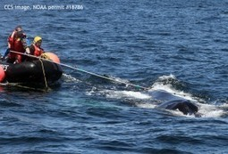 CCS responds to severely entangled humpback whale, Foggy, off Massachusetts | Center for Coastal Studies | Nova Scotia Fishing | Scoop.it