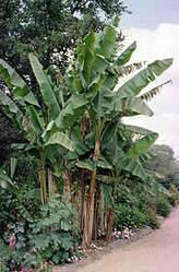 Agricultura. El cultivo del plátano. | Platano-Banana (Musa Cavendishii) | Scoop.it