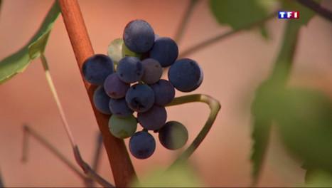 Vin : sachez-le, le millésime 2015 sera de qualité - TF1 | Gastronomie Française 2.0 | Scoop.it