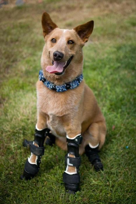 Orthopets! More vets turn to prosthetics to help legless dogs and cats | Food for Pets | Scoop.it