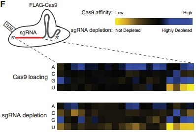Genetic Screens in Human Cells Using the CRISPR-Cas9 System   Biomedical synthetic biology   Scoop.it