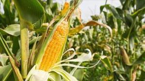 Nestlé avec l'Usaid veut produire du maïs de qualité pour son approvisionnement au Ghana | Agroalimentaire des Pays du Sud | Scoop.it