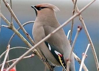 Le jaseur boréal, l'oiseau venu du froid de passage dans les Vosges ... - Le Progrès | De plume et d'écran | Scoop.it