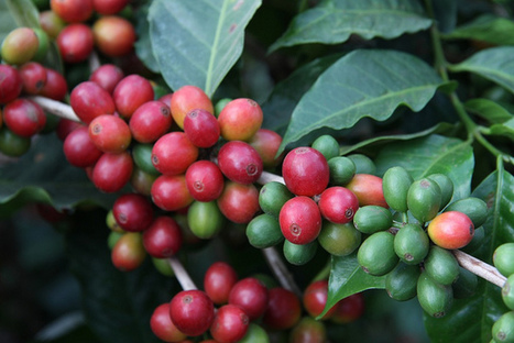 Study Finds Living Wage Gap for Workers in World's Biggest Coffee Region | Coffee News | Scoop.it