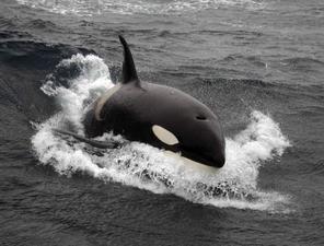 Bombe à retardement pour la santé des orques   Biodiversité   Scoop.it