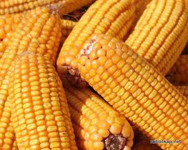 Tanganyika : le prix du maïs baisse d'environ 30% | Agriculture en RDC - République Démocratique du Congo | Scoop.it