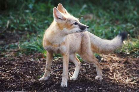 Institute hoping new girl in town will help grow swift fox population - Cochrane Eagle | Biology at Warhill | Scoop.it