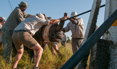 To Catch a Rhino: Capturing Animals in Order to Save Them by : Yale Environment 360   Kruger & African Wildlife   Scoop.it