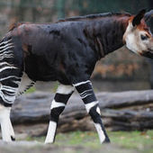 L'okapi, « la girafe des forêts », rejoint la liste rouge des espèces menacées | Biodiversité & Relations Homme - Nature - Environnement : Un Scoop.it du Muséum de Toulouse | Scoop.it