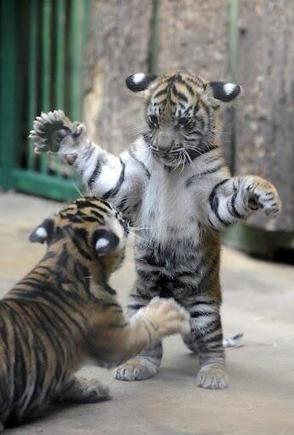 Twitter / BabyAnimalPics: Baby Tigers http://t.co/idu6t2aDb5 | Cats Rule the World | Scoop.it