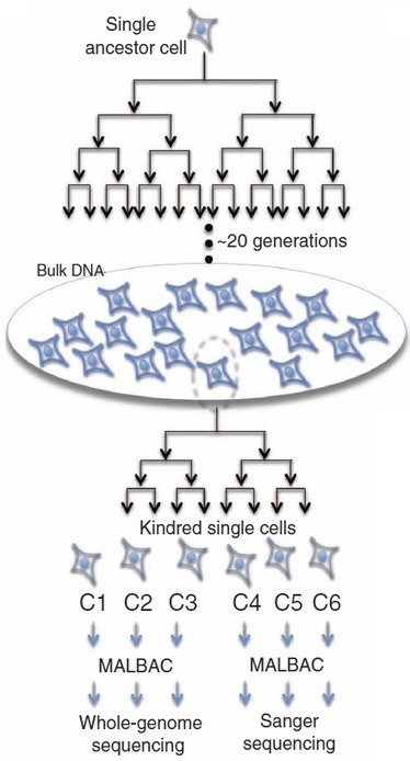 How to sequence an entire genome from a single cell | KurzweilAI | Longevity science | Scoop.it