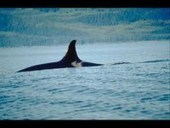 Orcas Spotted off Point Vicente | Dolphins | Scoop.it