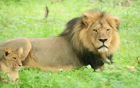 Cecil the Lion: A Year On. Interview with Cecil's Researcher. | Wildlife News | Scoop.it