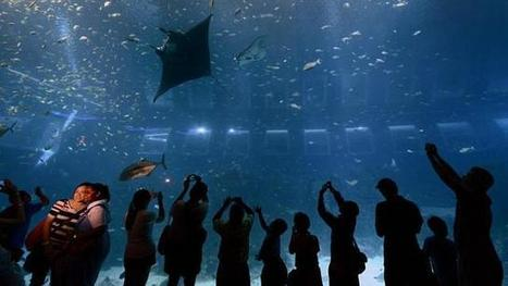 Captivité mortelle : 2 raies manta meurent au parc marin de Sngapoure | Rays' world - Le monde des raies | Scoop.it