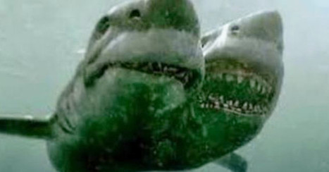 Just when you thought it was safe to swim, scientists discovered a two-headed shark | Vloasis awesome sauce | Scoop.it