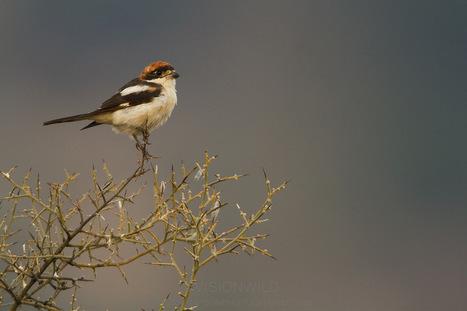 A Naturlists Diary of The Serranía de Ronda, Andalucia, Spain   The ...   A-VISTA-DE-PUENTE   Scoop.it