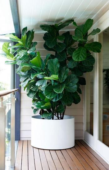 Fiddle Leaf Fig Tree | Backyard Gardening | Scoop.it