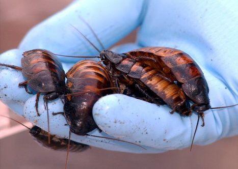 La ville de Naples victime de blattes géantes   Toxique, soyons vigilant !   Scoop.it