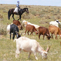 Mongolian Herders: Cashmere and Climate Change | adapting to climate change | Scoop.it