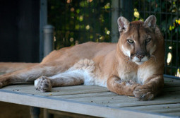 Prevent Dangerous Increase in Cougar Hunting Quota | GarryRogers NatCon News | Scoop.it