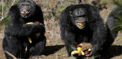 VIDÉO. Un chimpanzé fait des réserves de nourriture | Biodiversité | Scoop.it