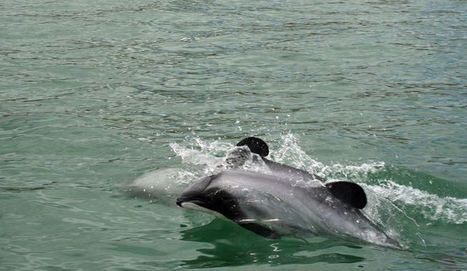 #Scientists #demand #NewZealand #save 'sea hobbit' #rarest #Dolphin ~  Losing 1 risks it's existence! UPdate below   Rescue our Ocean's & it's species from Man's Pollution!   Scoop.it