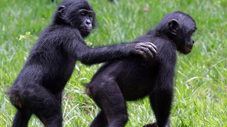 Bonobos, like humans, keep time to music, study shows | Amazing Science | Scoop.it