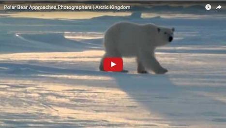 Polar Bear and Arctic Photographers   Churchill Polar Bears   Oceans and Wildlife   Scoop.it