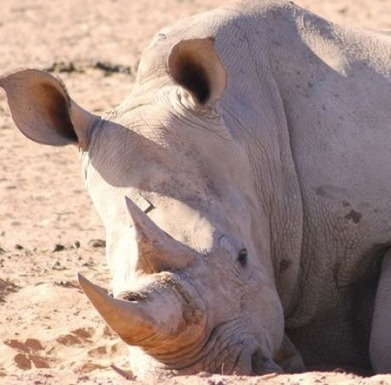 At last: an action-plan to save African rhino « Hotel & Restaurant | Wildlife Trafficking | Scoop.it