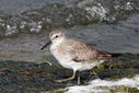 Seabirds face big problems as sea levels rise | In Deep Water | Scoop.it