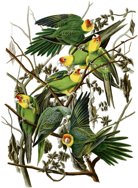The last Carolina Parakeet | All Things Zygodactyl | Scoop.it
