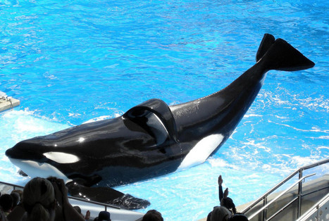 Why is SeaWorld Still Using 'Killer' Whale Featured in 'Blackfish' to Breed? - One Green Planet. | #OrcaAvengers | Scoop.it