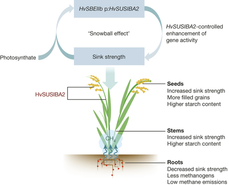 Model depicting high-starch low-methane-emission SUSIBA2 rice. : Expression of barley SUSIBA2 transcription factor yields high-starch low-methane rice : Nature : Nature Publishing Group | Plant nutrition & stress | Scoop.it