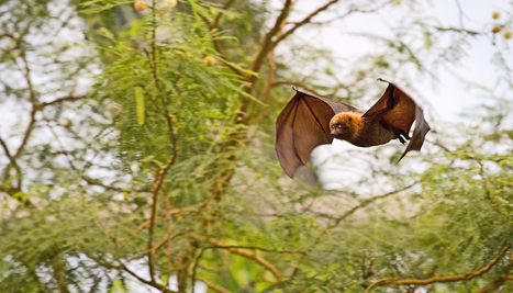 How bats track bugs through trees - Futurity: Research News | Bat Biology and Ecology | Scoop.it