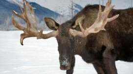 More moose on the loose in a warmer Alaska - BBC News | OCR AS Geography | Scoop.it