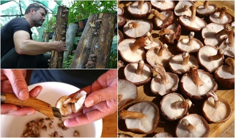 Want extra Vitamin D? Place your shiitake mushrooms in sunlight... | Aquaponics~Aquaculture~Fish~Food | Scoop.it
