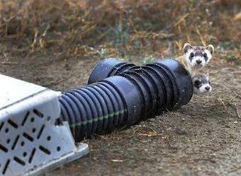 Rare black-footed ferrets released to devour prarie dogs | Trmperate grasslands | Scoop.it