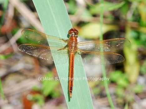 Golden-winged Skimmer Dragonfly | What Surrounds You | Scoop.it
