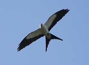 Rare Swallow Tailed Kite Spotted in Alabama ~ It Happens in Alabama | Outdoors Alabama | Scoop.it