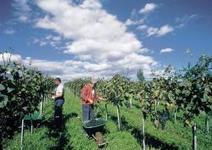 Nel Burgenland la primavera profuma di vino - TGCOM | Wine in Tuscany | Scoop.it