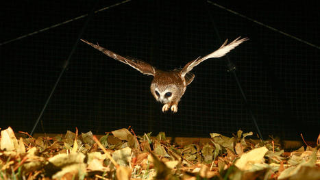 Human Noise Robs Owls of Their Ability to Hunt   Human-Wildlife Conflict: Who Has the Right of Way?   Scoop.it