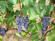 How the Short European Harvest Might Affect Wine Lists | Vitabella Wine Daily Gossip | Scoop.it