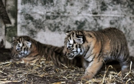 Amur tiger cubs unveiled at Highland Wildlife Park - Scotsman | Save Our Planet and its inhabitants | Scoop.it