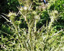 The Mountain Gardener: Keep pesky invasive plants from taking hold -  We can't control those pesky weed seeds that blow into our gardens and take hold. There are ways to keep them from taking over ... | invasive species | Scoop.it