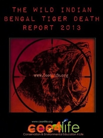 THE WILD INDIAN BENGAL TIGER DEATH REPORT - 2013 | Tyger! Tyger! | Scoop.it