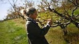 Early tree flowering puts Midwest fruit harvest in jeopardy | Food issues | Scoop.it