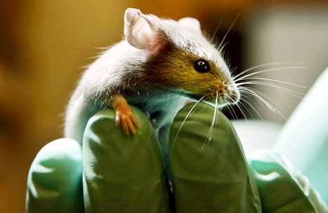 Genetically Modified Mice Are 500 Times More Sensitive To TNT Explosives | Amazing Science | Scoop.it