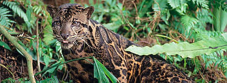 Clouded Leopards | All about nature | Scoop.it