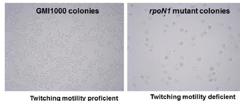 Front. Microbiol.: rpoN1, but not rpoN2, is required for twitching motility, natural competence, growth on nitrate and virulence of Ralstonia solanacearum (2015) | Effectors and Plant Immunity | Scoop.it