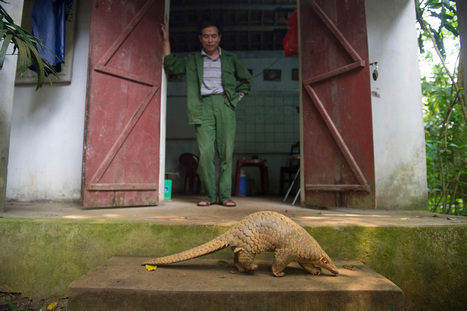 Happy Ending for Smuggled Scaly Anteaters   Wildlife Trafficking: Who Does it? Allows it?   Scoop.it